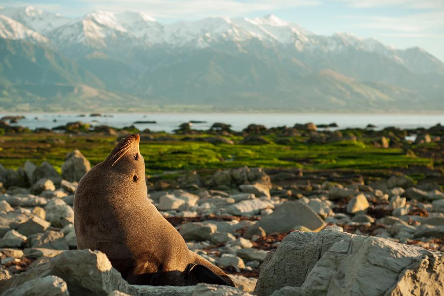 Nouvelle-Zélande - Le Sel Marin et les Monts Enneigés de Kaikoura