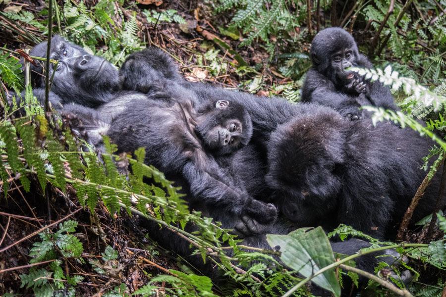 Rwanda - Dian Fossey, La Passion des Gorilles
