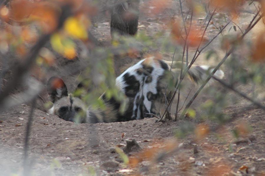 Botswana - Marcher parmi les Rhinos à Limpopo Lipadi