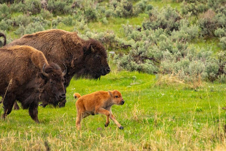 Etats-Unis - Yellowstone, un Concentré d'Ouest Américain