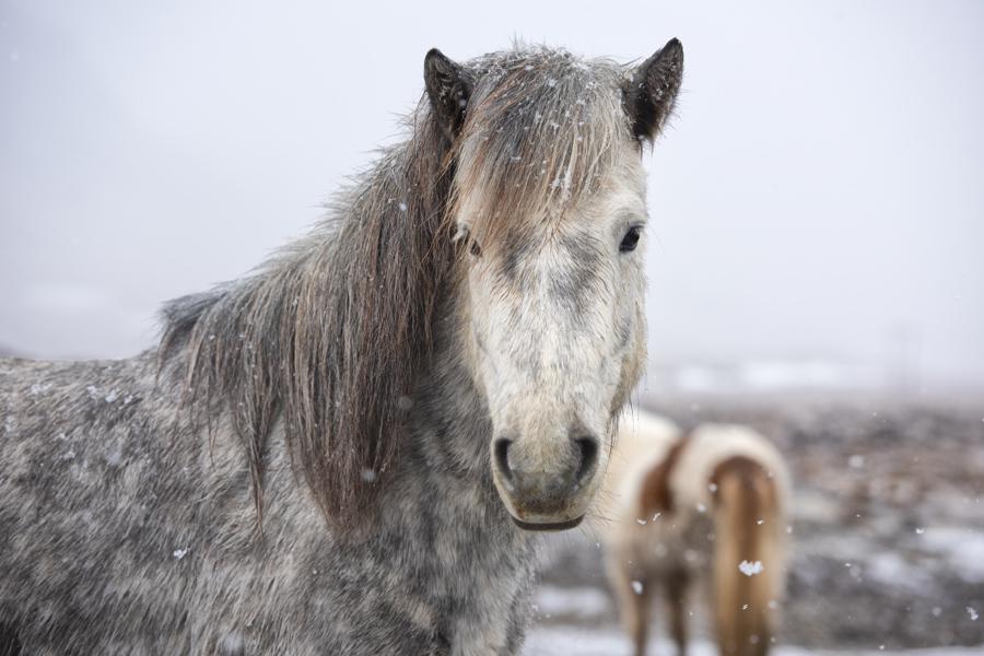 Islande - Le Cheval Islandais, fidèle compagnon des Vikings
