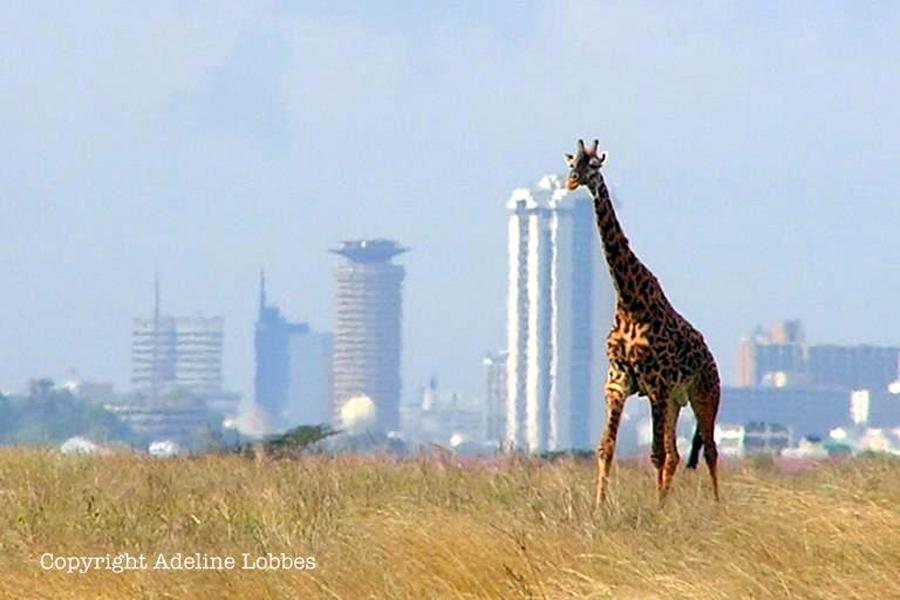 Kenya - Nairobi, des lions dans la ville !