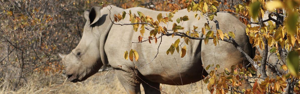 Voyage Découverte au Botswana - Marcher parmi les Rhinos à Limpopo Lipadi