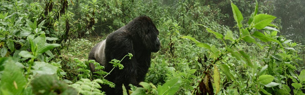 Voyage Découverte au Rwanda - Dian Fossey, La Passion des Gorilles
