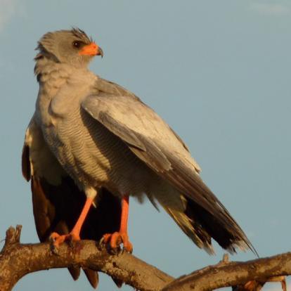 Safari sur Mesure Namibie : Oiseaux Endémique du Namib